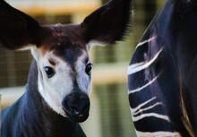 Close-up Portrait Of A Baby Okapi