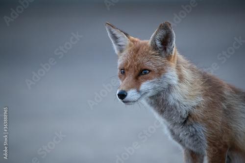 Valokuva Red fox vixen headshot with grey background.