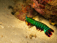 Peacock Mantis Shrimp, Odontod...
