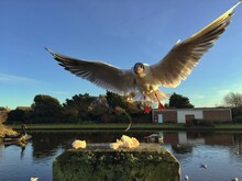 View Of Landing Seagull