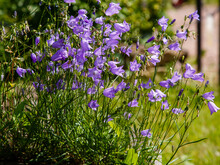 Blue Flowers Of Campanula Rotundifolia. Wild Flowers And Herbs In Landscape Design.