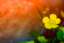 Bright Yellow Flowers Buttercups