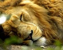 Close-up Of Lion Sleeping