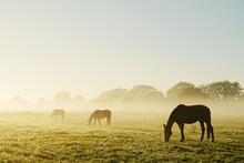 Horses Grazing On Field Against Clear Sky During Foggy Weather