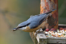 Portrait Of A Eurasian Nuthatc...
