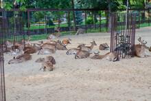 A Large Herd Of European Fallo...