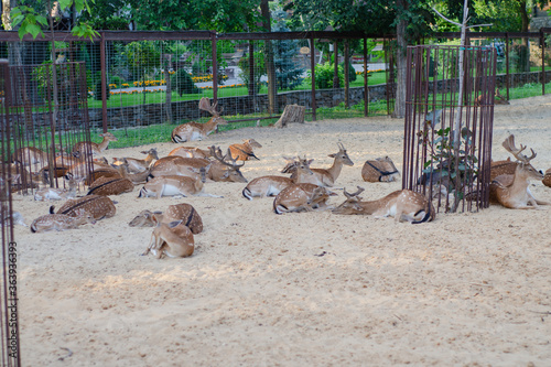 Photo A large herd of European fallow deer in a cage in the reserve