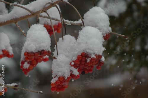 Fotografiet Close-up Of Frozen Tree, Red Berries With Snow Hood