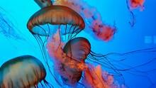 Close-up Of Jellyfish Swimming...