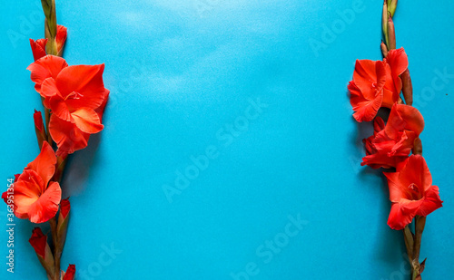 Red gladioli flowers on plain blue background shot from above Canvas Print