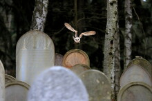 A Moody Winter Photo, An Owl Flying Over The Tombstones Of The Old Abandoned Cemetery. Barn Owl, Tyto Alba