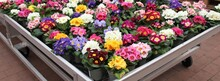 A Trailer Full Of  Colorful Primroses. These Beautiful Floers Are Yellow, Pink, White, Light Blue, Violet And Red.