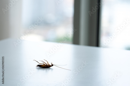 Cockroach on a white kitchen table close up Canvas