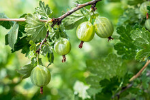 Gooseberry. Fresh And Ripe Org...