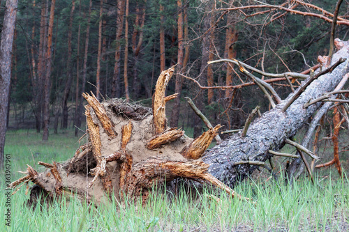 Obraz na plátně A tree torn from the ground lying on its side