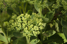 Closeup Of A Green Decorative Plant On A Flowerbed With Flowerless Buds In The Sun. Plant For The Design Of Flower Beds. Monochromatic Green Plant Background. Image For Screensaver.