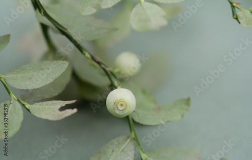 Valokuvatapetti Mutation, White Blueberries