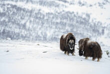 Musk Ox From Dovrefjell National Park, Norway. Arctic Winter Environment.