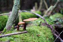Two Small Red Mushrooms Living On A Tree Bark Covered With Moss