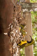 Male Olive-backed Sunbird Feed...