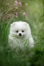 Beautiful Puppy Of Breed Spitz Runs On The Green Grass.