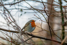 Red Robin Isolated Looking Away.