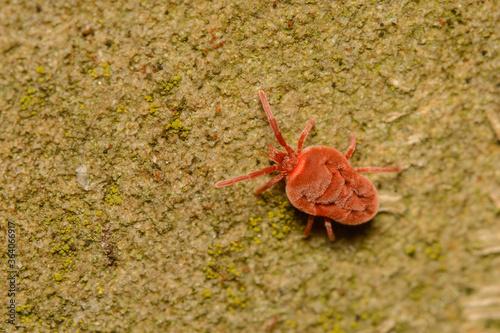 Photo A macro image of a Velvet Mite, Trombidium sp.
