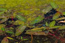 Mating Azure Damselflies, Coenagrion Puella