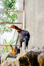 A Rooster Standing On A Rock