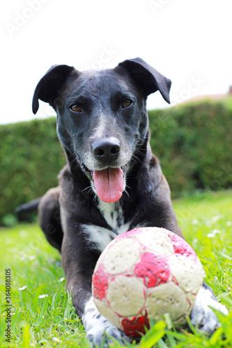 Canvas Print perro negro jugando en el jardín con un balón 4M0A0829-as20