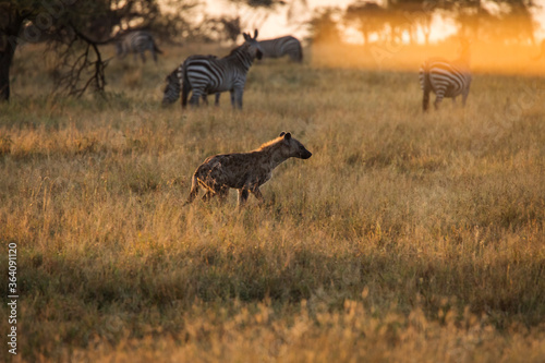 Fototapeta African hyena with zebras in background at beautiful landscape in the Serengeti National Park during safari