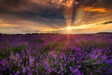 Beautiful Lavender Field Sunse...