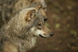 Eurasian Grey Wolf in forest
