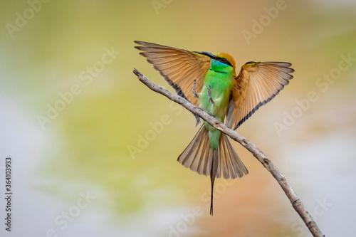 Fototapeta Image of Green Bee-eater bird(Merops orientalis) on a tree branch on nature background. Bird. Animals. obraz
