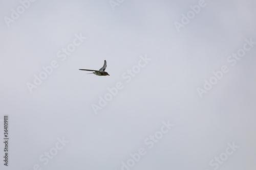 Photo 空を飛ぶツバメ