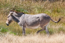 Zonkey, A Cross Between A Donkey Mare And Zebra Stallion