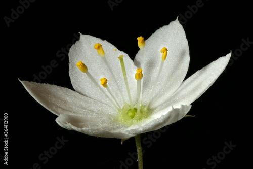 Valokuvatapetti Chickweed Wintergreen (Trientalis europaea). Flower Closeup