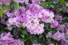 Beautiful Full Blooming Of Climbing Purple Blossom Calls Garlic Vine (Ajo Sacha) Or False Garlic Plant (Mansoa Alliacea ,Mansoa Hymenaea) ,which Is Tropical Liana In Family Bignoniaceae