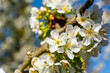 several cherry blossoms in the spring