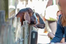 Girls Feeding Goats