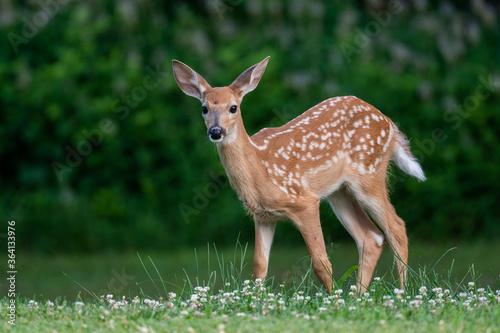 Fototapeta Whitetailed deer fawn in an open meadow i nth esummer obraz