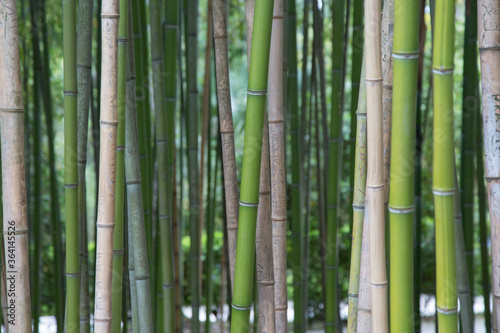 Horizontal picture of tall bamboo trees growing in park or forest. Asian landscape green spring background.