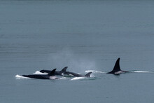 Pod Of Orca's Swimming In The ...