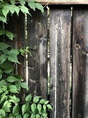 old fence closeup with wood texture and green bush leaves