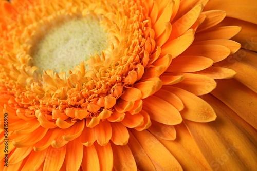 Detail of orange flower of Barberton daisy, latin name Gerbera Jamesonii Canvas Print