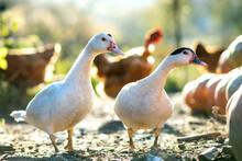 Ducks Feed On Traditional Rura...