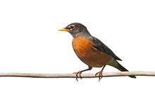 American Robin On A Branch