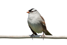 White-crowned Sparrow On A Whi...