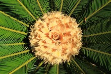 Cycas Palm Tree Flower Blossom...