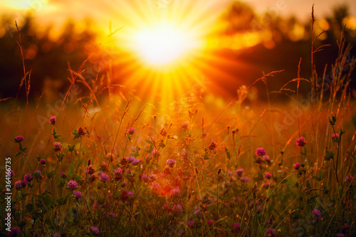 Obraz Orange and warm sunset and glade. The sun rays are shining through the wildflowers. - fototapety do salonu